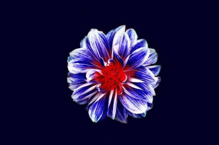 A blue and red flower