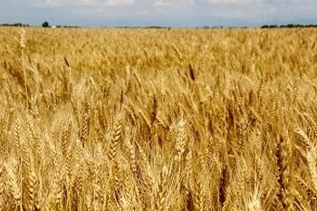 A field of grain