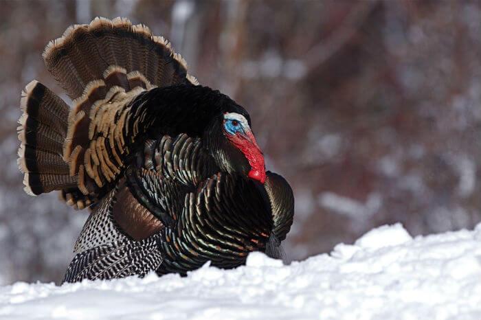 A very cold turkey