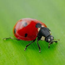 Ladybird Bites Treatment, Reactions & Prevention | Push Doctor